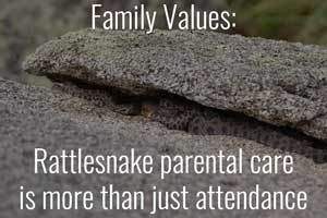 Family Values: Rattlesnake parental care is more than just attendance.