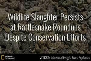 Wildlife Slaughter Persists at Rattlesnake Roundups Despite Conservation Efforts.